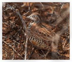 Barred button quail (jithupai) Tags: quail shy skulker bird birdphotography naturephotography wildlifephotography wildlife