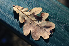 A sleeping leaf on the bench (sirenajing) Tags: leaf leaves floral trees plants nature bokeh season changes light shadow outdoors orange foliage yellow golden fall autumn quiet morning dew sunlight tranquility sleeping poesy poetic mood