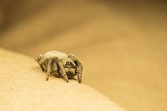 Velvet spider's journey 2 (Mika Andrianoelison) Tags: k3 madagascar macro closeup animal nature wildlife fauna bug justpentax taxonomy:family=eresidae velvet spider hairy weird