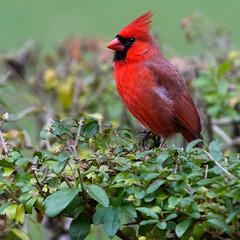 cardinal_8412 (JGKphotos) Tags: d7100 johnkunze bird birds cardinal cardinals