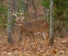 Rut winding down (Lindell Dillon) Tags: buck stag whitetail deer wildlife nature oklahoma autumn fall rut lindelldillon