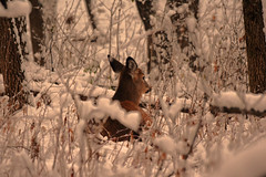 First Snow of the Season (larry kapellusch) Tags: deer whitetail nature snow winter wildlife doe