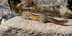 Colorado Chipmunk (Tamias quadrivittatus); Santa Fe National Forest, NM, Thompson Ridge [Lou Feltz] (deserttoad) Tags: nature newmexico animal mammal fauna squirrel chipmunk behavior nationalforest mountain