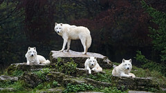 Four arctic wolves posing well (Tambako the Jaguar) Tags: four posing together grass wolf canine canid white actic polar parcanimalier saintecroix park parc rhodes zoo france nikon d5