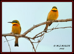 PAIR OF LITTLE BEE-EATERS (Melittophagus pusillus).....MASAI MARA....SEPT 2015. (M Z Malik) Tags: nikon d3x 200400mm14afs kenya africa safari wildlife kws exoticafricanwildlife exoticafricanbirds ngc npc