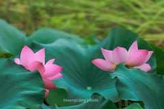 Y9893+94.0613.Hồng Đà.Tam Nông.Phú Thọ (hoanglongphoto) Tags: asia asian vietnam northvietnam nature flower lotus outdoor canon canoneos1dx canonef100400mmf4556lisusmlens hoa hoasen tamnông phúthọ thiênnhiên hoasenhồng pinklotus lotusblooms lotusblossom sen plant