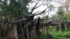 Simian Swingers at Zoo Miami (lhboudreau) Tags: zoo zoomiami gibbon gibbons video siamang whitecheeked swinging swingers videos simian ape apes lesserape lesserapes tree trees animal animals orangutan greatape greatapes miamizoo florida miami whitecheekedgibbon simianswingers outdoor