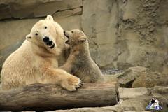 IMG_7849 (Fruehlingsstern) Tags: zoo am meer polarbear bremerhaven zooammeer lala valeska eisbr llyod specanimal
