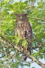 Hathikhira Birds-818 - Ketupa zeylonensis (Vijay Anand Ismavel) Tags: brownfishowl ketupazeylonensis nikond800 hathikhirabirds