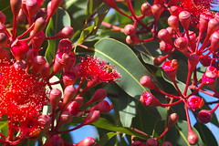 Flickr Friday #SweetSurprise (Jan Diamond) Tags: bees australia victoria floweringgum monbulk flickrfriday sweetsurprise