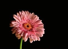Gerbera (Romanie de Groot) Tags: flower holland macro nikon gerbera drenthe emmen roze bloem 105mm d5200