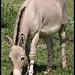 Somali wild ass (Equus africanus somaliensis)