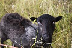 grass sheep teeth