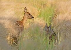 Roe Deer doe - mother of 3 (Wouter's Wildlife Photography) Tags: nature mammal wildlife ngc doe deer fawn npc roedeer billund ree capreoluscapreolus reekalf