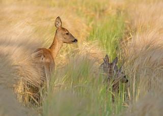 Roe Deer doe - mother of 3