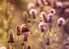 A Summer's Dream (spectralvector) Tags: uk flowers summer orange brown yellow butterfly scotland weeds soft ground monarch waste thistles flutterby surprises