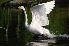 (mikkovaltterii) Tags: lake bird suomi finland swan nikon päijänne d80