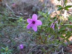 Tetratheca thymifolia 9 (barryaceae) Tags: park new plants wales bay south australia national heath species crowdy heathplants australianheathplants aushp