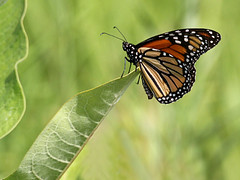 Monarch on Milkweed (Doris Burfind) Tags: nature insect countryside wildlife monarch endangered milkweed monarchbutterfly sideroad
