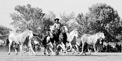 Tropel de overos (Eduardo Amorim) Tags: horses horse southamerica argentina criollo caballo cheval caballos cavalos pferde herd cavalli cavallo cavalo gauchos pferd pampa hest hevonen chevaux gaucho  amricadosul hst gacho  campero amriquedusud provinciadebuenosaires  gachos  sudamrica sanantoniodeareco suramrica areco sdamerika gregge crioulo troupeau caballoscriollos herde criollos  tropillas  pampaargentina camperos americadelsud tropilhas tropilla  crioulos cavalocrioulo americameridionale tropilha caballocriollo campeiros campeiro eduardoamorim cavaloscrioulos pampaargentino