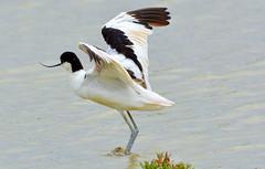DSC_3360 Avocet! (jefflack Wildlife&Nature) Tags: nature birds wildlife wetlands waders avian waterbirds slimbridge avocet wildbirds