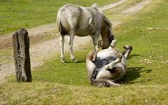 Dartmoor Ponies (paulafrenchp) Tags: