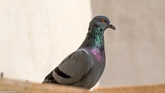 """Monsoon Luminescence """"The most important thing in communication is hearing what isn't said"""" Peter Drucker FINALLY...got my Tamron 150-600mm. Here is a rather no-frills image - my first from the lens - to mark the moment! A rain soaked Pigeon sunning himse (WhyCallSarah) Tags:"""