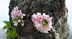 Cherry  Blossom Tree along Hains Point (d1pinklady) Tags: city usa tourism cherry washingtondc us dc washington metro capital blossoms cityscapes tourist wdc views visitors monuments cherryblossomfestival