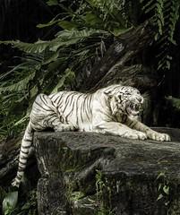 White Tiger (Jas Mahal) Tags: cat nikon singapore tiger bigcat whitetiger singaporezoo nikond800 ronin237