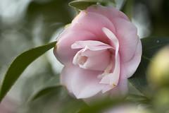 Camellia (louisa_catlover) Tags: winter plant home nature yard canon garden eos dof bokeh australia melbourne august victoria 100mm mygarden frontyard macrolens 2014 60d