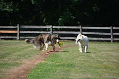 "Zarro Has Caught The Flag As It Was Zooming, Even Chase Is Impressed 4 • <a style=""font-size:0.8em;"" href=""http://www.flickr.com/photos/96196263@N07/14712953640/"" target=""_blank"">View on Flickr</a>"