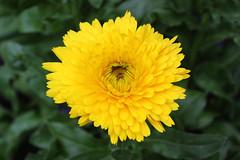 Flower (Hakgala Botanical Garden) (Achala Photography) Tags: flowers flores flower fleurs bunga 花 꽃 鲜花 цветы achala rajapaksha ดอกไม้ फूल الزهور ফুল மலர்கள் මල්