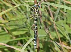 Male Southern hawker (Roger H3) Tags: insect dragonfly southern hawker odonata