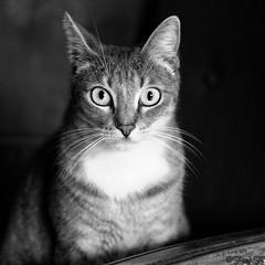 ...Gaa pose... (fredf34) Tags: portrait blackandwhite bw white black chat noiretblanc pentax gato ricoh carr k3 fredf gaa formatcarr portraitcarr fredf34 pentaxk3 ricohpentaxk3 fredfu34 pentax50mmf18smcda
