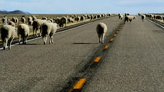 Sobriety Test.................................  Explore July 23 (The VIKINGS are Coming!) Tags: highway traffic desert sheep nevada isolated us50 openrange blacktop roadway sheepherder middleofnowhere yellowline lincolnhighway endoftheroad highplains