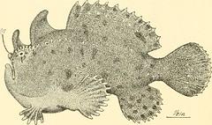 Anglų lietuvių žodynas. Žodis sea-toad reiškia jūrų rupūžė lietuviškai.