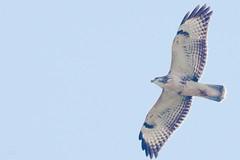 buteo buzzard buizerd in flight light morph (kPepels) Tags: light flight buzzard morph buteo buizerd heidekamp