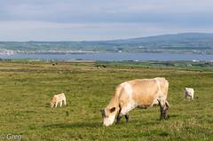 Pr sal ? (Gregouill) Tags: ireland sea mer clare campagne juillet vache irlande 2014 pr liscannor brouter 201407 ete2014