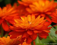 All art, like all love.... (itucker, thanks for 4+ million views!) Tags: orange macro bokeh dukegardens hbw