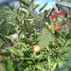 Vi har i alla fall en Astrakan på vårt träd. #apple #äpple #astrakan #torpet (Yvonne L Sweden) Tags: summer apple square sweden cottage squareformat sommar trädgård htc äpple torp astrakan instagramapp uploaded:by=instagram htconemini