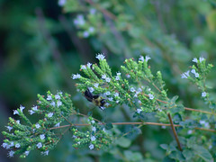 P8240024 (Paul Henegan) Tags: bokeh blossoms bee cropped mamiyasekoref128f135mmsn10455