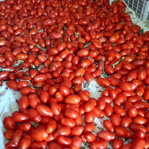 Appena raccolti e pronti per preparare la salsa