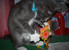 I Gotcha Now! (Life_After_Death - Shannon Renshaw) Tags: life pet baby pets playing motion art cat canon toy photography eos death kitten day play sweet gray young kitty shannon claw precious bite after dslr canondslr canoneos claws entertain lifeafterdeath 50d shannonday canoneos50d canon50d canon50ddslr canon50deos canoneos50ddslr canoneod50ddslr canondsler lifeafterdeathstudios lifeafterdeathphotography shannondayphotography shannondaylifeafterdeath