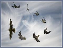 Saker Stooping (pentaxian666) Tags: birds nikon raptor montage birdsofprey bif saker 70200mmf4 falcocherrug d810 icbp