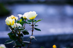 Lohud Photo Meet-up 11 (Life is but many images stitched together by time) Tags: park flowers roses newyork yellow 50mm nikon yonkers untermyer niftyfifty bokhe d7100 lohud