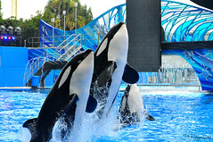 Malia, Katina & Nalani (Stephanie Faye Rogerson) Tags: ocean show family love beautiful one orlando jump pod florida group malia killer bow whale sync whales orca seaworld shamu orcas nog katina nalani