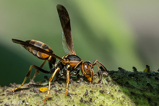 Northern Paper Wasp [Polistes fuscatus]
