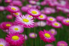 Pinks (OzzRod) Tags: flowers plants pentax native australia perth kingspark k5 pentaxda1650mmf28