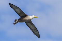 Waved Albatross (Baractus) Tags: john galapagos punta albatross oates waved angelito espanola suarez