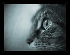 Mickie (Fotogravirus) Tags: cat kat fujian mickie fotogravirus cctvlens fujian25mm fujian25